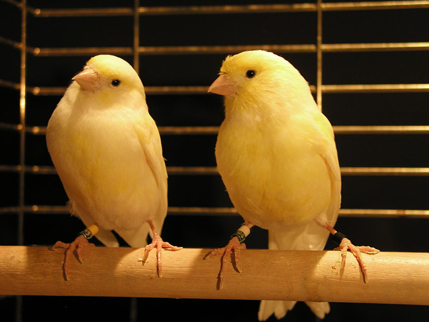 How to breed canaries